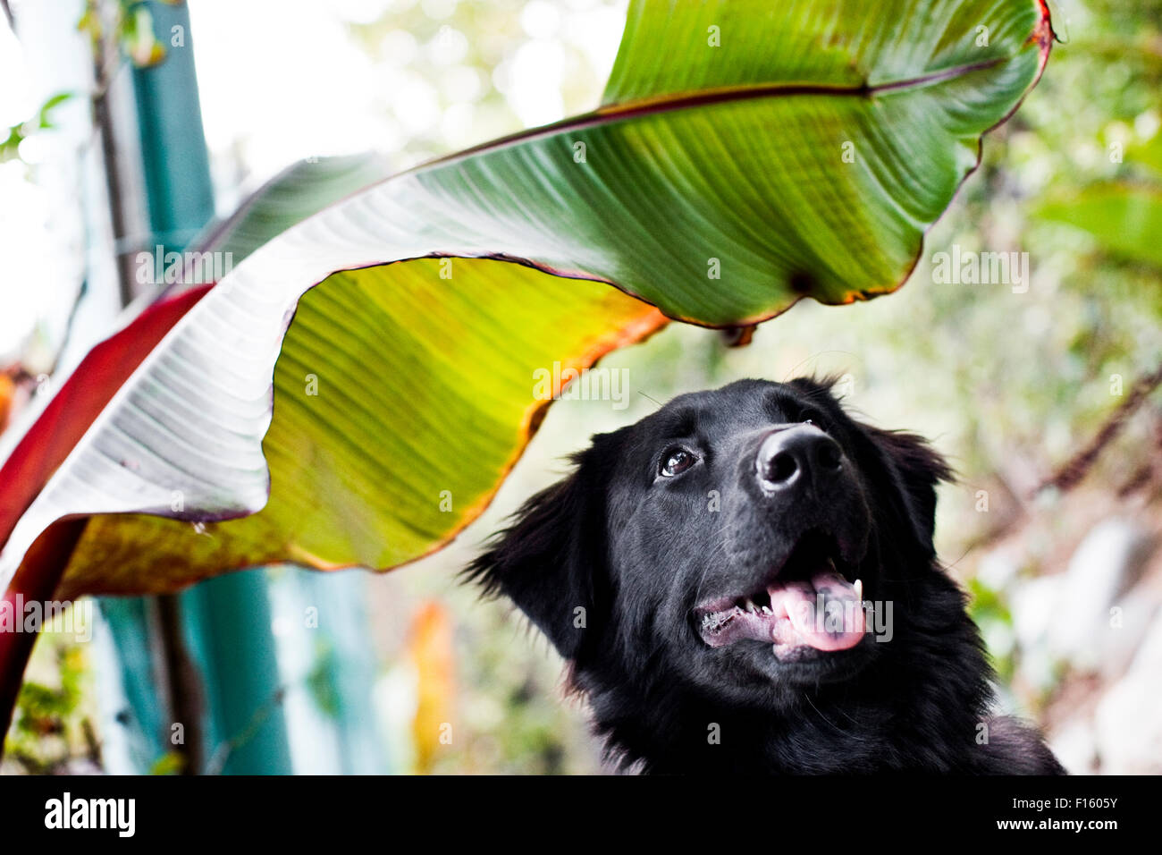 Happy smiling black Labrador Retriever dog looking up from bottom of horizontal frame under a giant green tropical - Stock Image