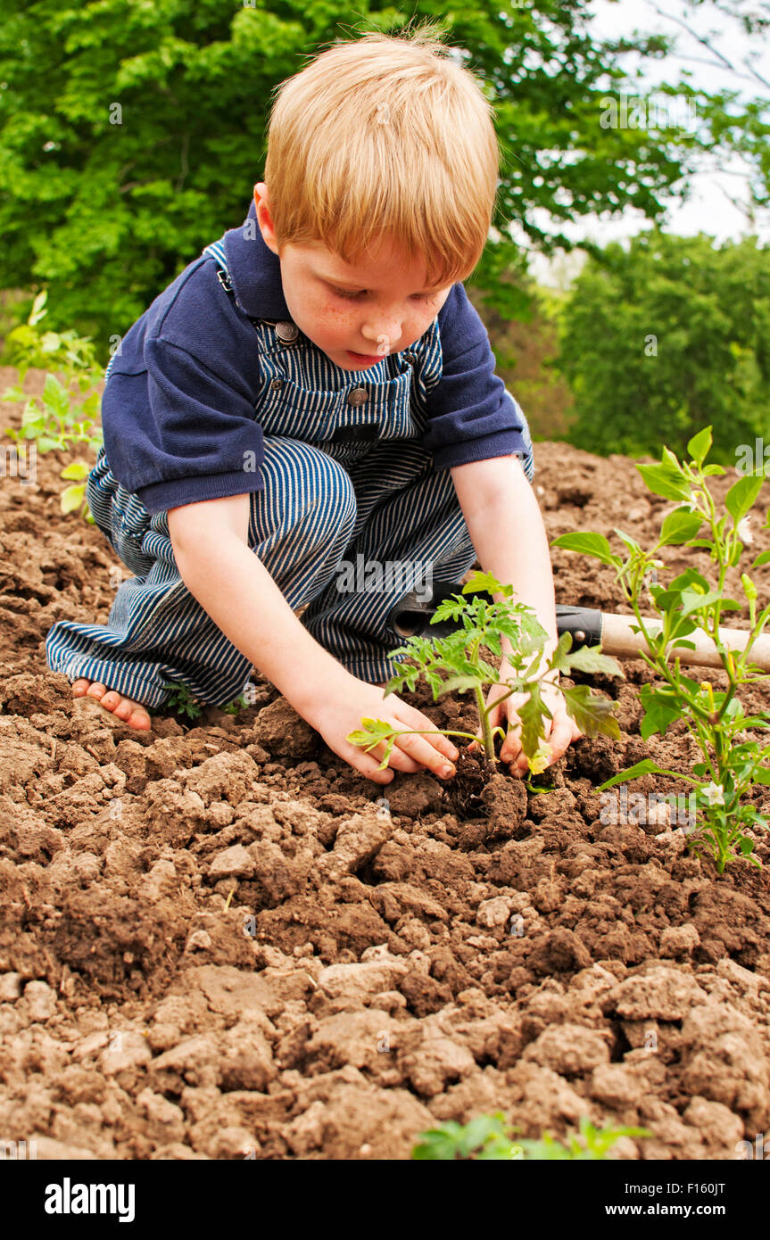 Boy planting tomatoes in garden Stock Photo