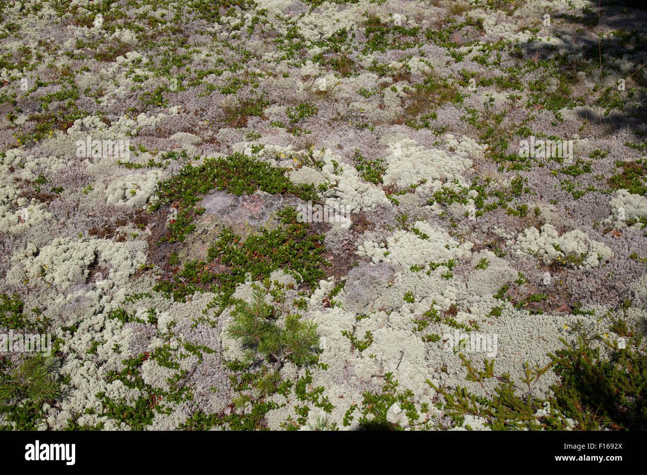 Reindeer Moss (Cladonia rangiferina), in Finland. - Stock Image