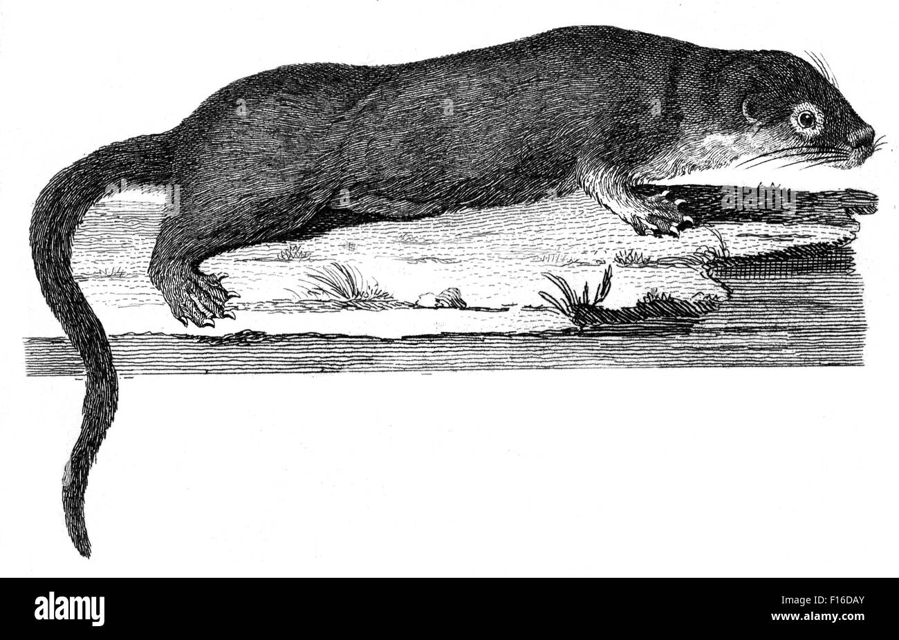 Engraved illustration titled 'Common OTTER' taken from 'British Zoology' by Thomas Pennant (1726 - Stock Image