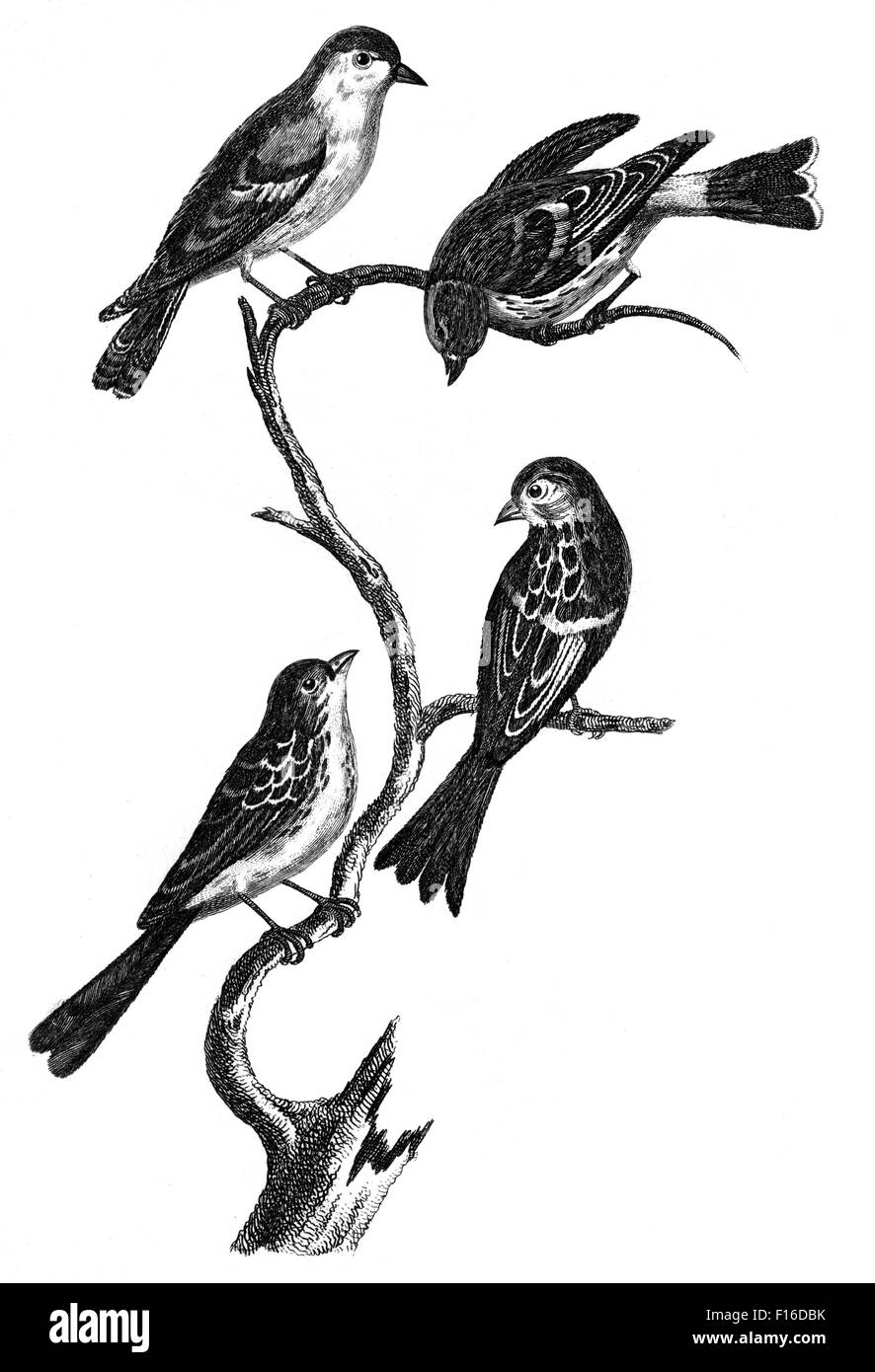 Engraved illustration titled 'Siskin FINCH M. and F Twite F. M. and F ' taken from 'British Zoology' - Stock Image