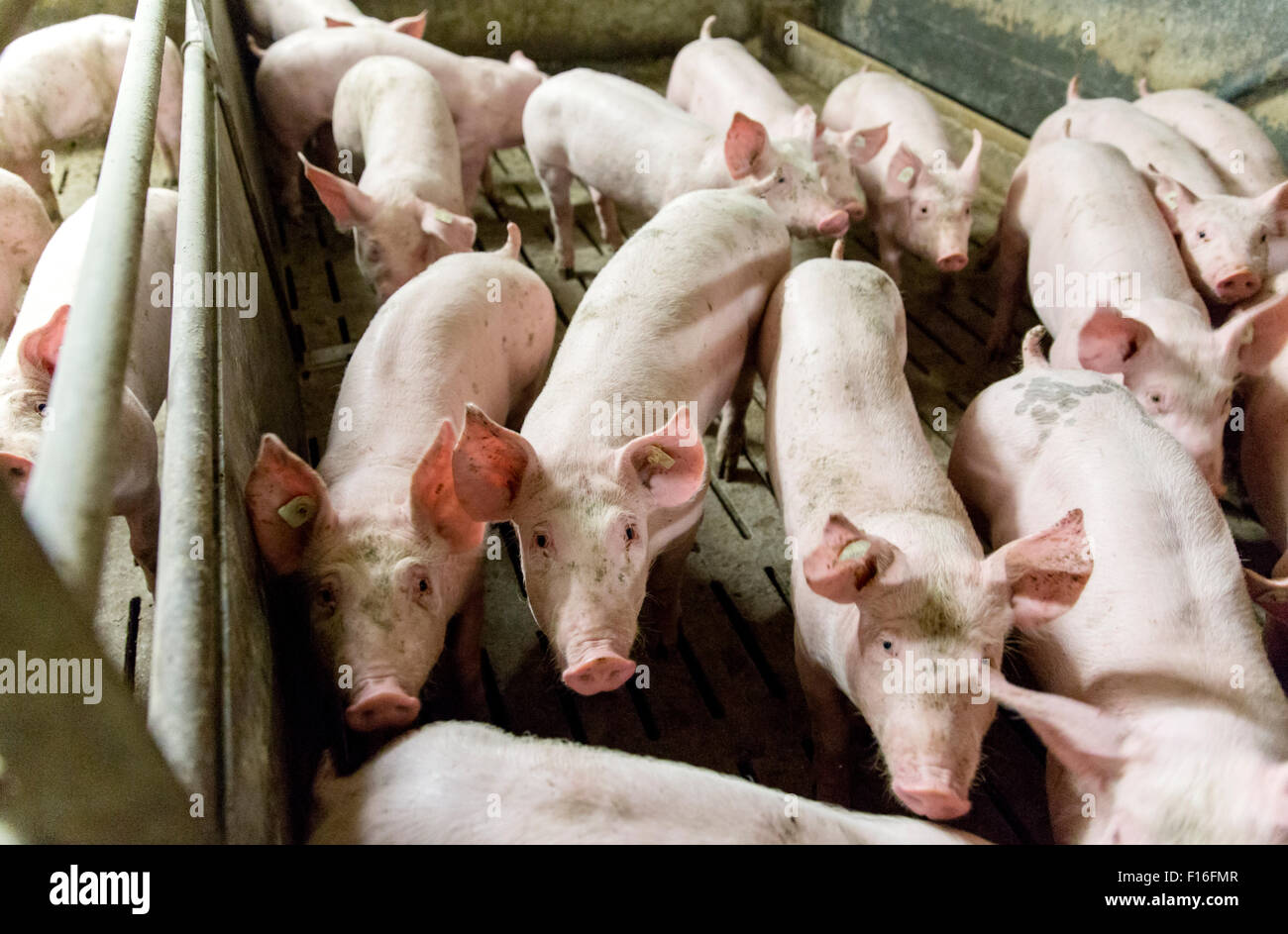 Unna, Germany, conventional pigsty - Stock Image