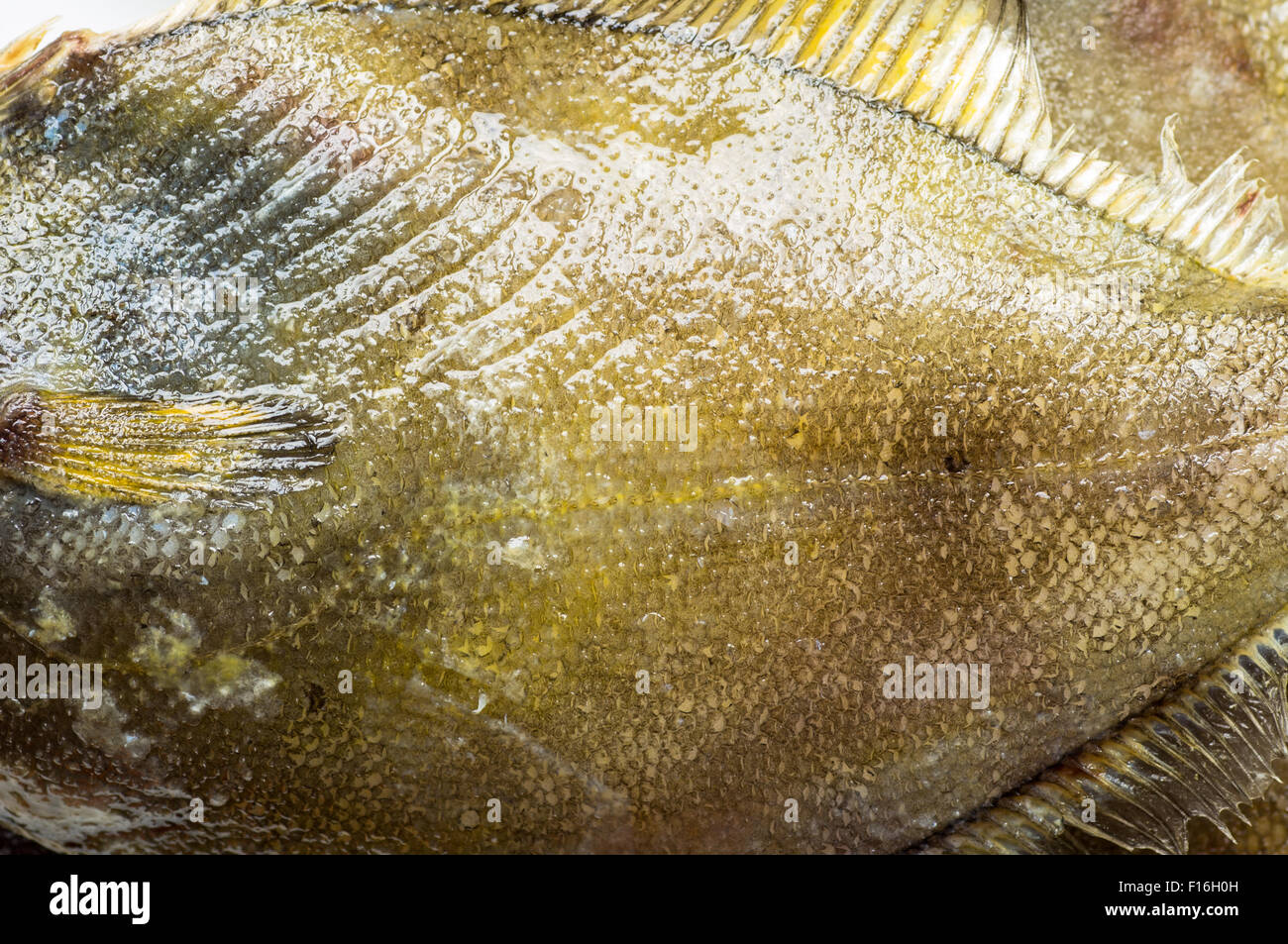 Close up of the body of fresh flatfish top view - Stock Image