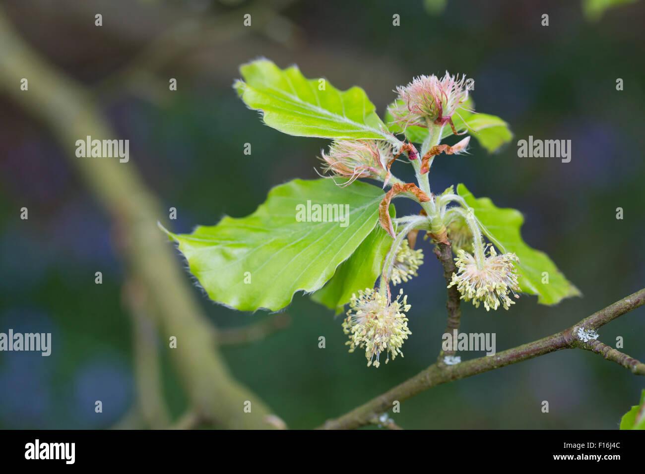 Beech Tree Flowers; Fagus sylvatica Cornwall; UK - Stock Image
