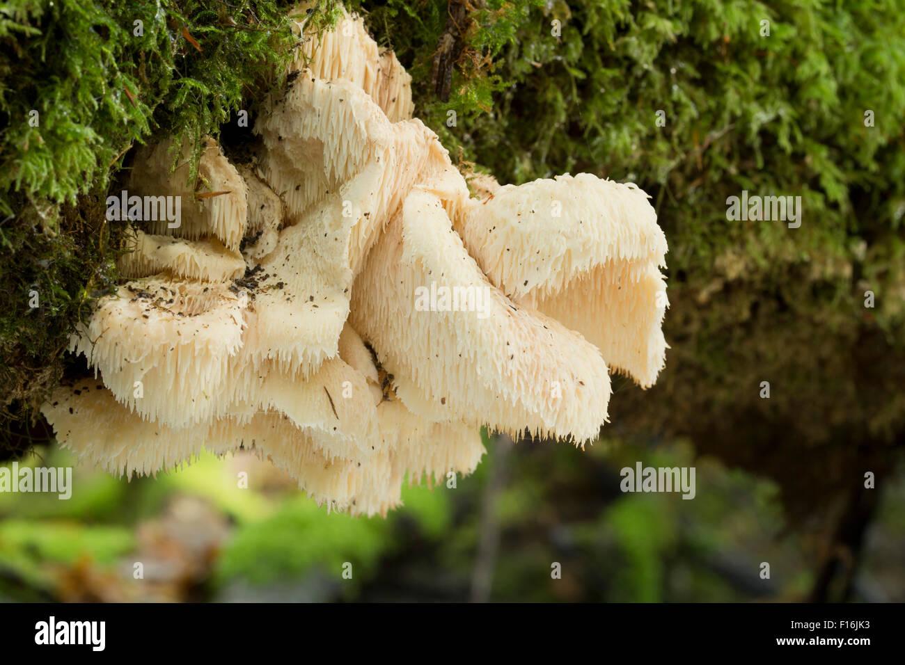 Hedgehog Fungus; Hericium erinaceum Autumn; Cornwall; UK - Stock Image