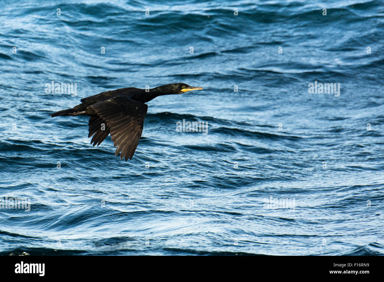 Cormorant or Shag flying over the surface of the sea - Stock Image