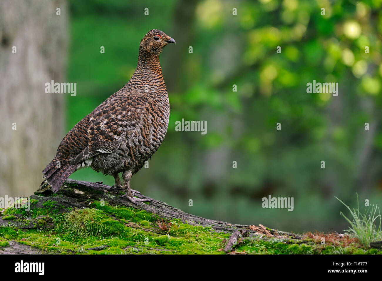 Black grouse / blackgame / blackcock (Lyrurus tetrix / Tetrao tetrix) female on fallen log in forest - Stock Image