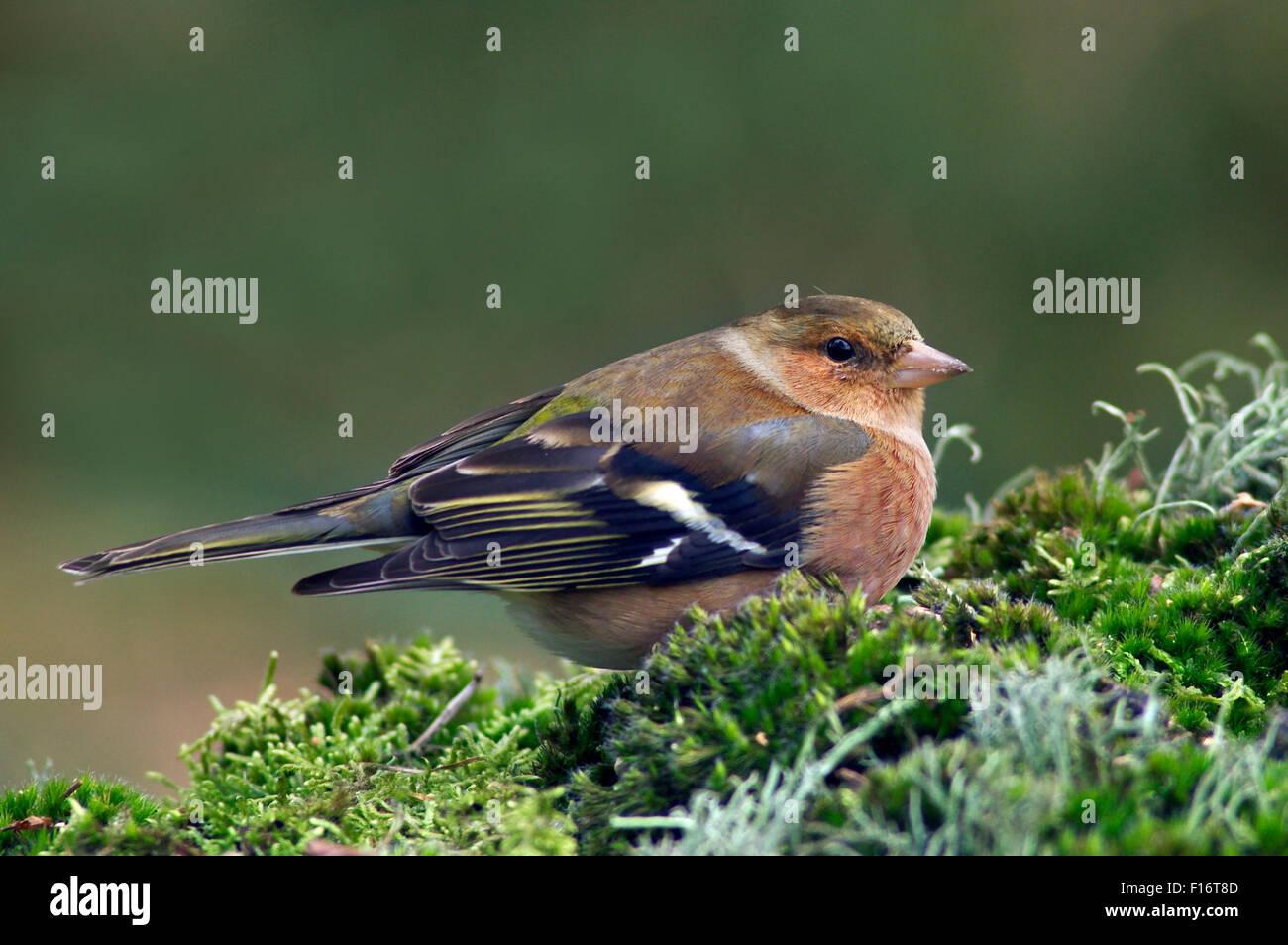 Common chaffinch (Fringilla coelebs) female portrait - Stock Image