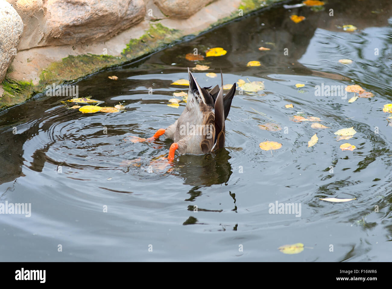 Duck at Zoo Park in Moscow, Russia Stock Photo