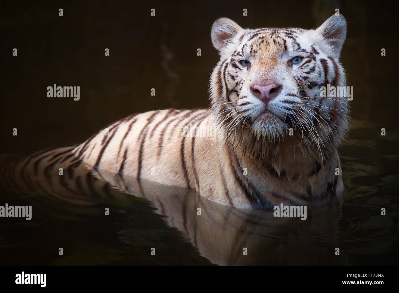 White Tiger Symbol Of Success And Might Stock Photo 86823126 Alamy