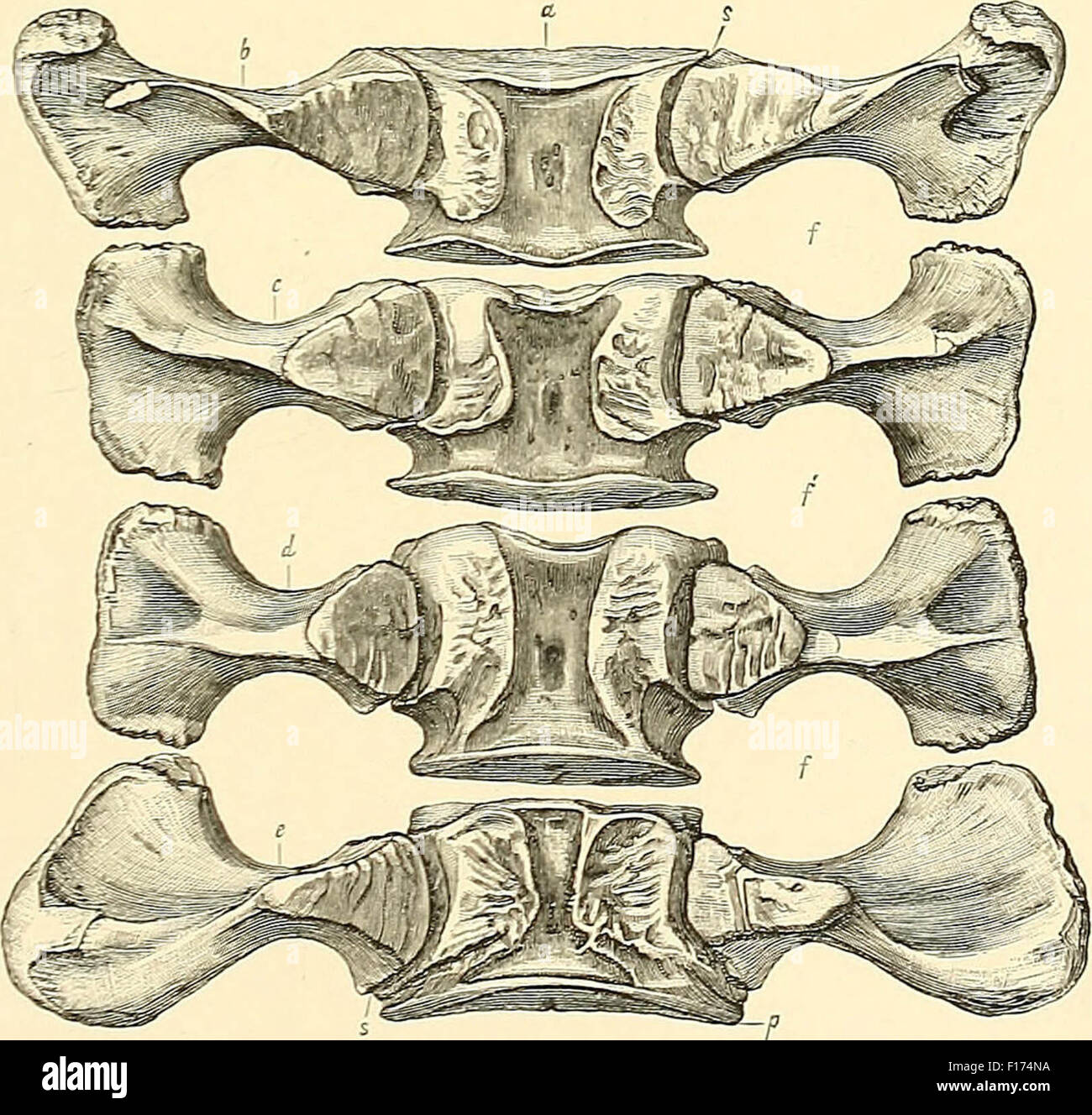 Dinosaur bones - Stock Image