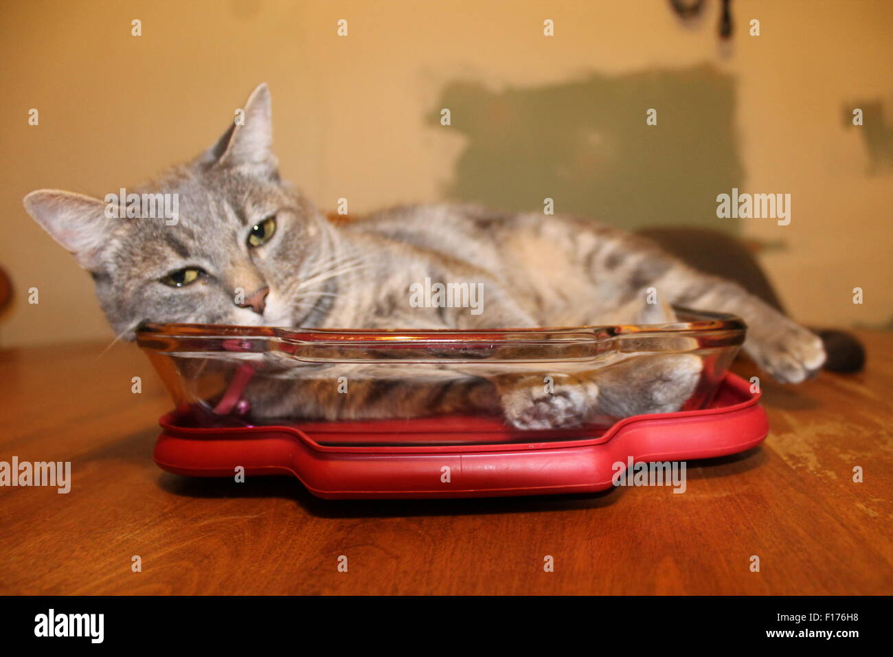 Charlie resting in a casserole dish on the kitchen table after a stressful day chasing spiders - Stock Image