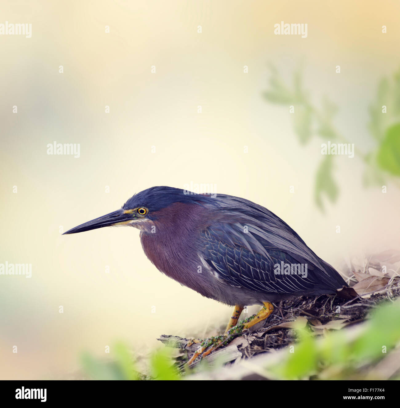 Green Heron in Florida Wetlands - Stock Image