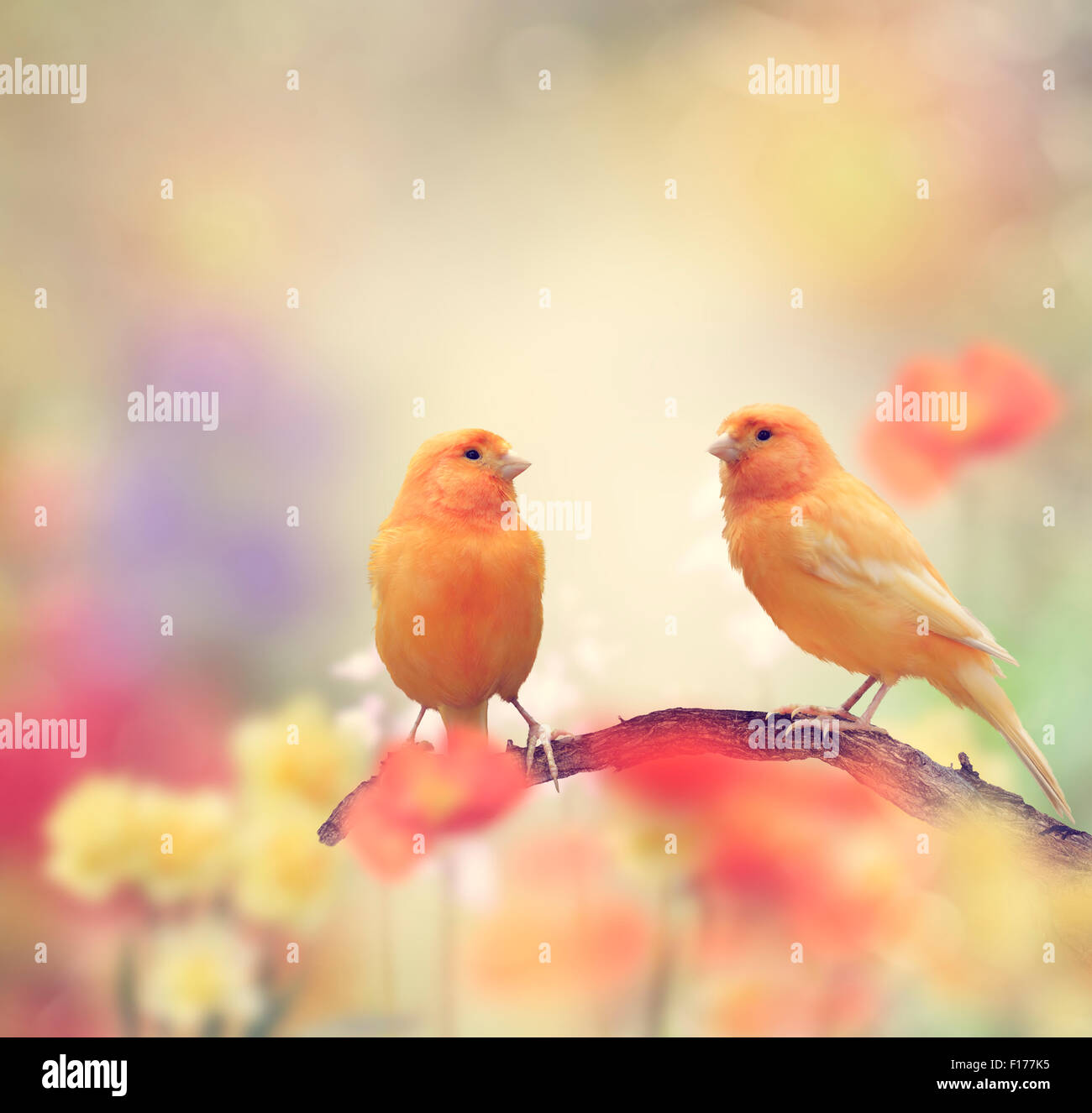 Yellow Birds Perching In The Garden - Stock Image