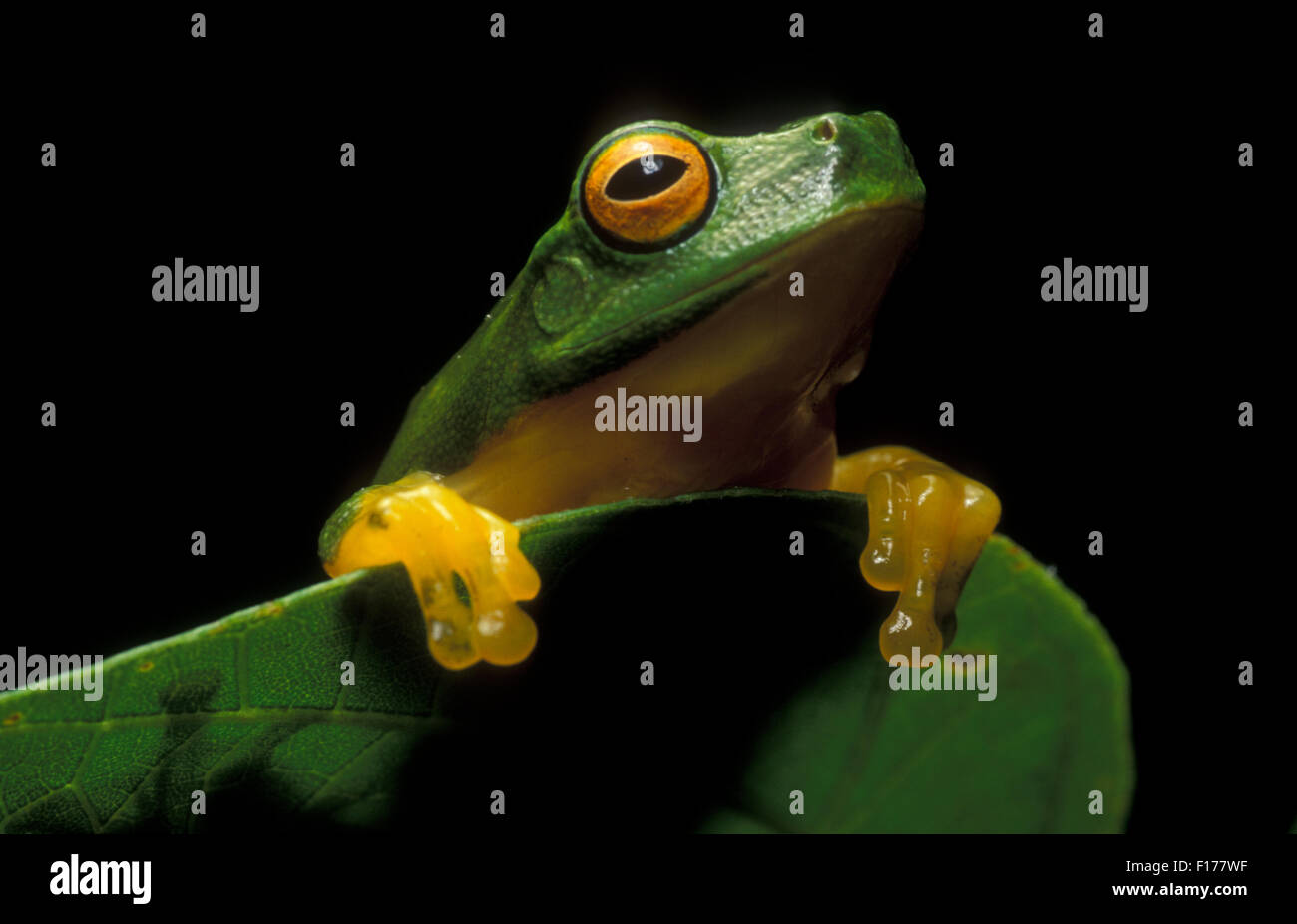 Australian Green tree frog (Litoria caerulea) - Stock Image