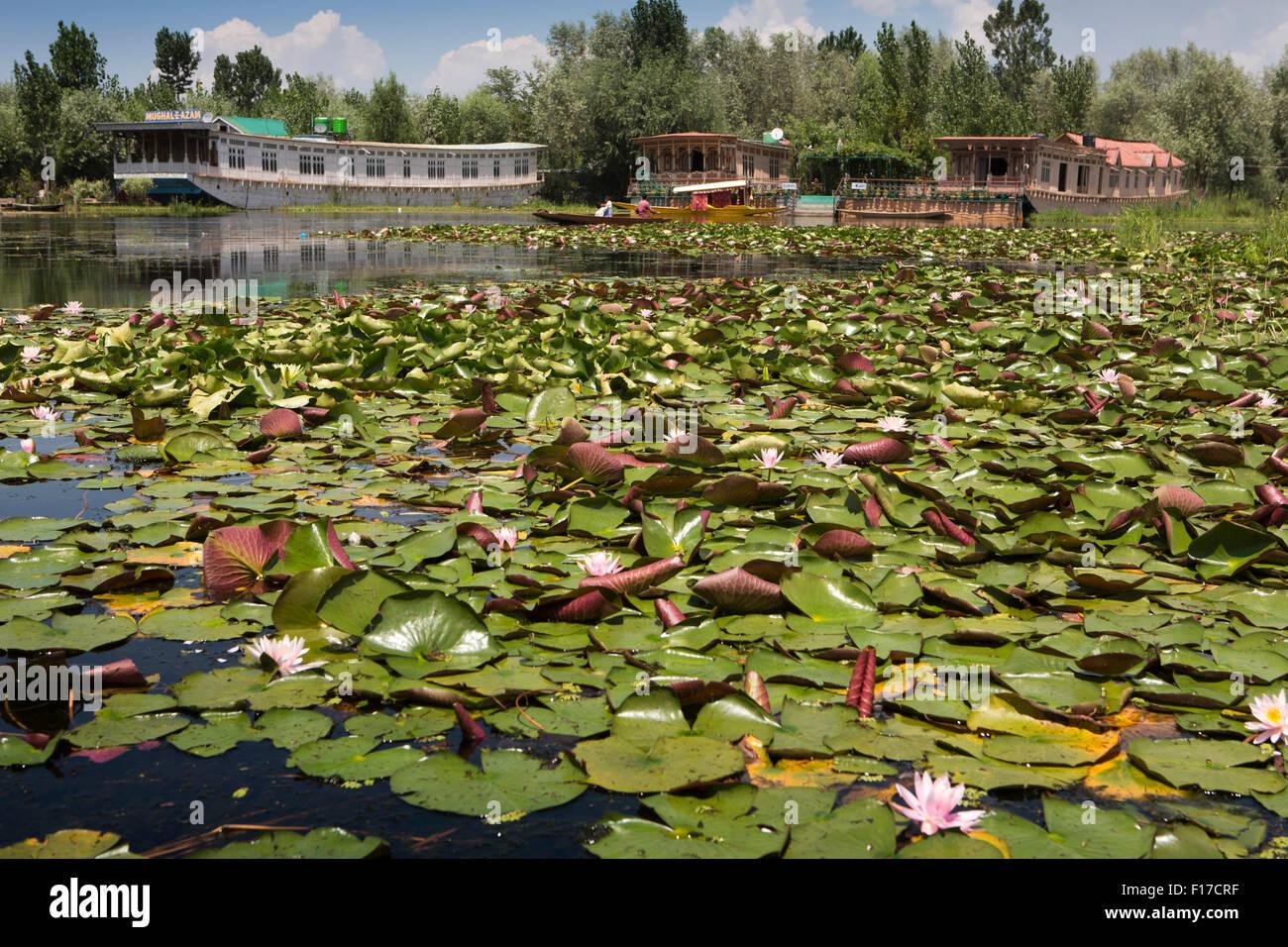 India Jammu Kashmir Srinagar Dal Lake Pink Lotus Flower Stock