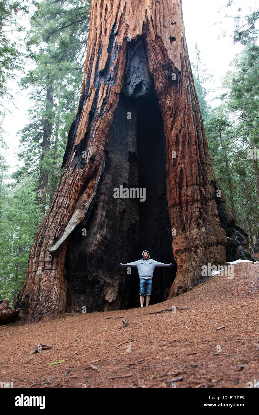 Giant Sequoia in Mariposa Grove, Yosemite National Park, California, USA - Stock Image