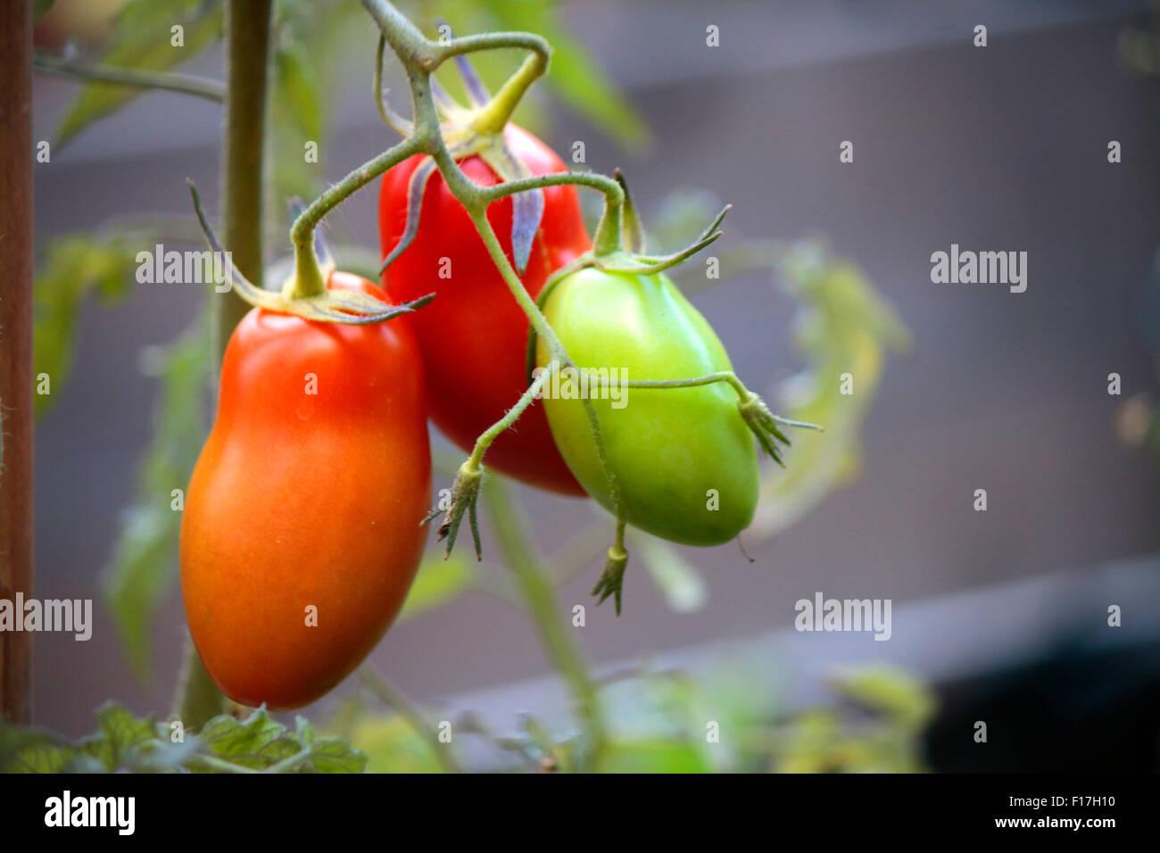 Tomaten, Garten, Berlin. Stock Photo