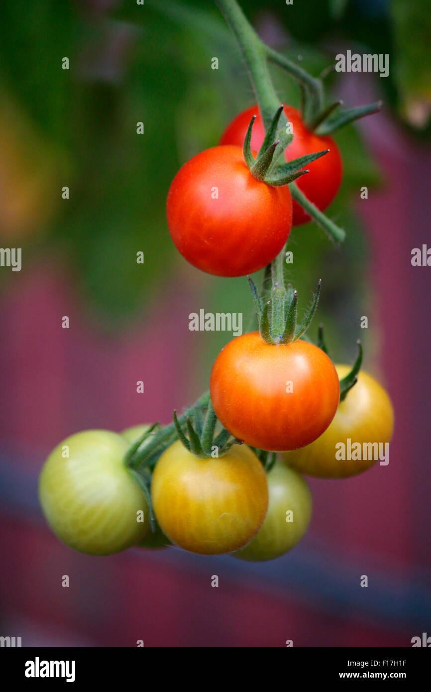 Tomaten, Garten, Berlin. - Stock Image