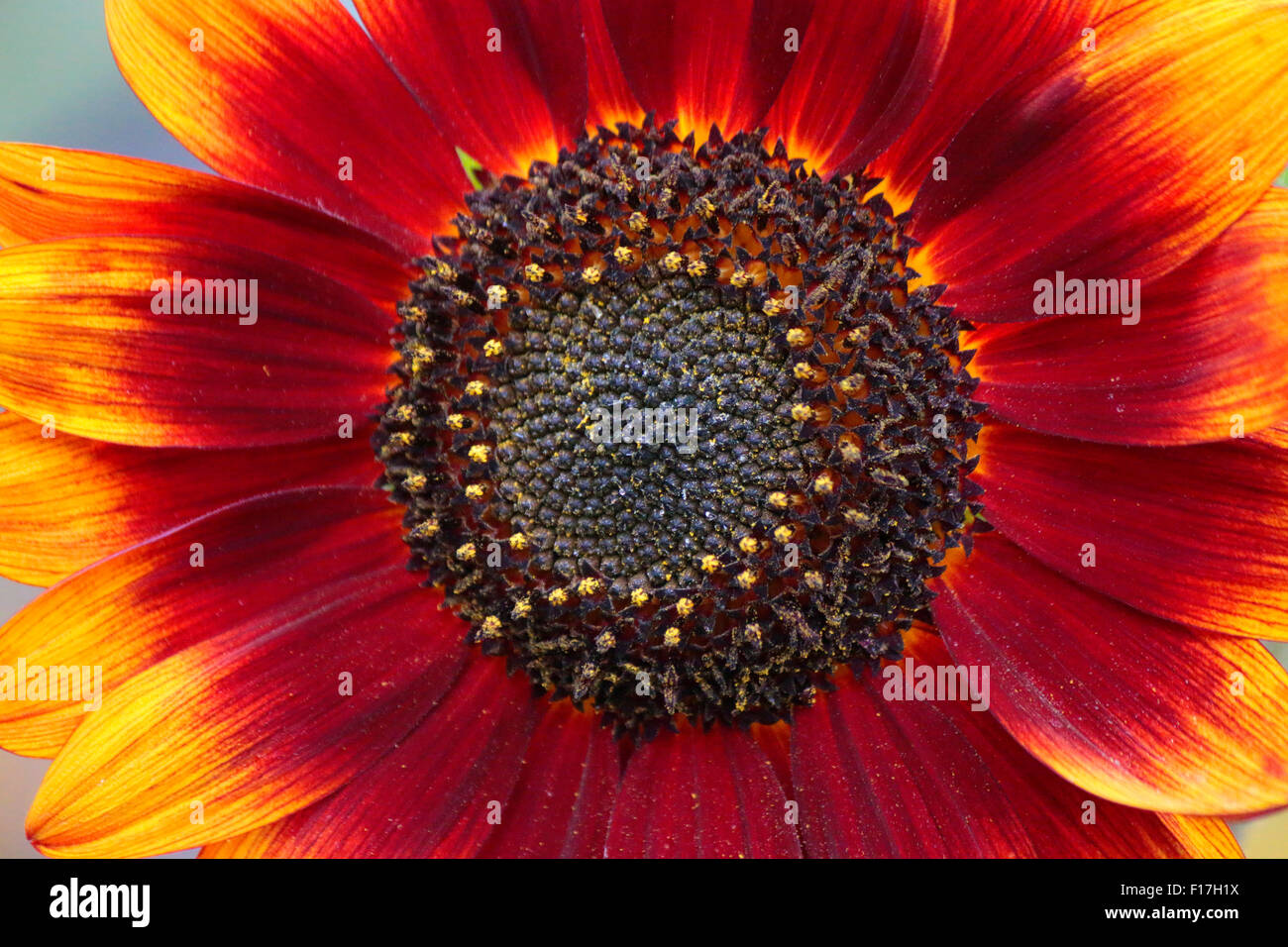 Sonneblume, Garten, Berlin. - Stock Image