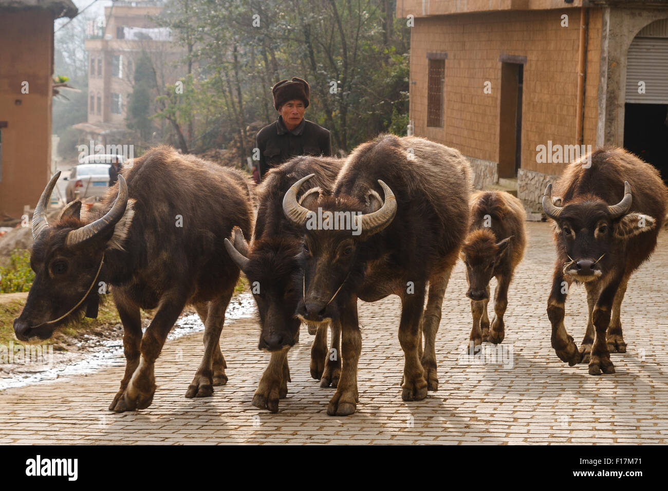 Water Buffalo and herder in a rural Chinese village in Yuanyang, Yunnan, China - Stock Image