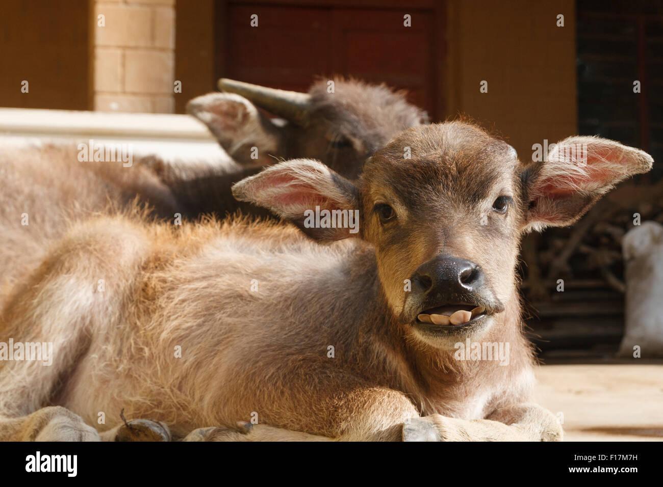 A buck toothed, big eared, water buffalo calf in Yunnan, China - Stock Image