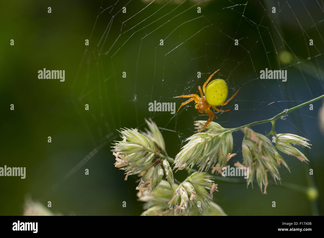 Gourd spider, pumpkin spider, Kürbisspinne, Kürbis-Spinne, Araniella cucurbitina oder Araniella opistographa - Stock Image