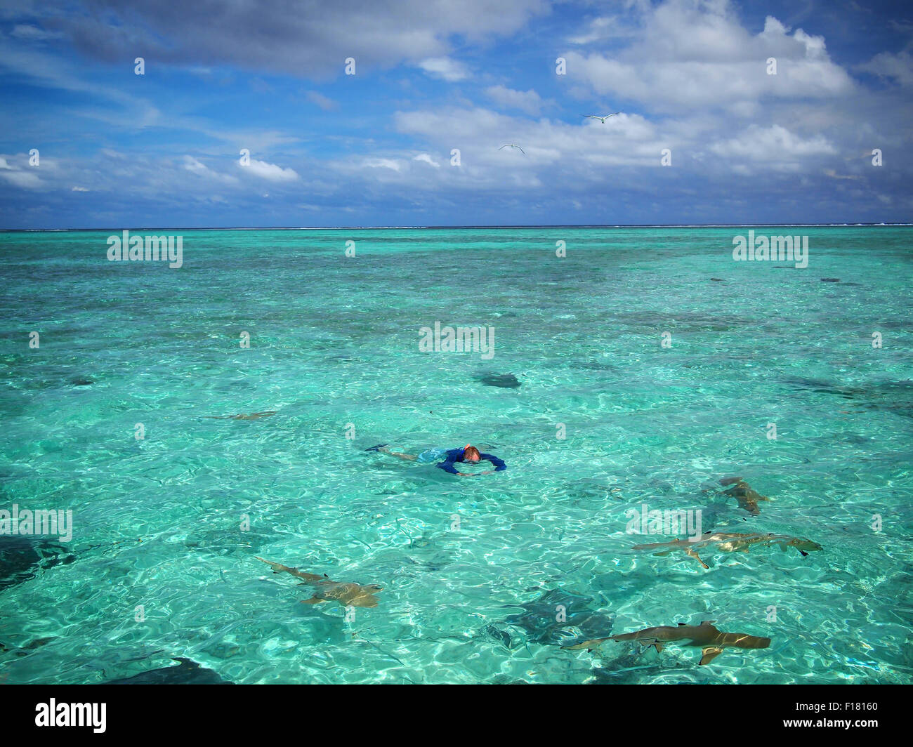 A tourist in sun protective swimwear snorkeling with sharks and stingrays in the shallow, clear water of the lagoon - Stock Image