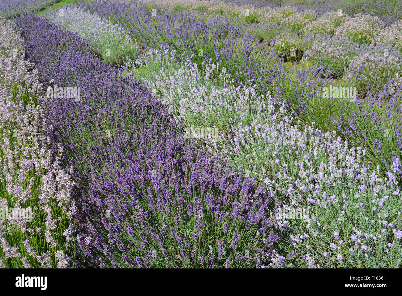 """Yorkshire Lavender Farm. Rows of lavender (Lavandula angustifolia), including """"Rosea"""", """"Imperial Gem"""" and """"Blue Stock Photo"""