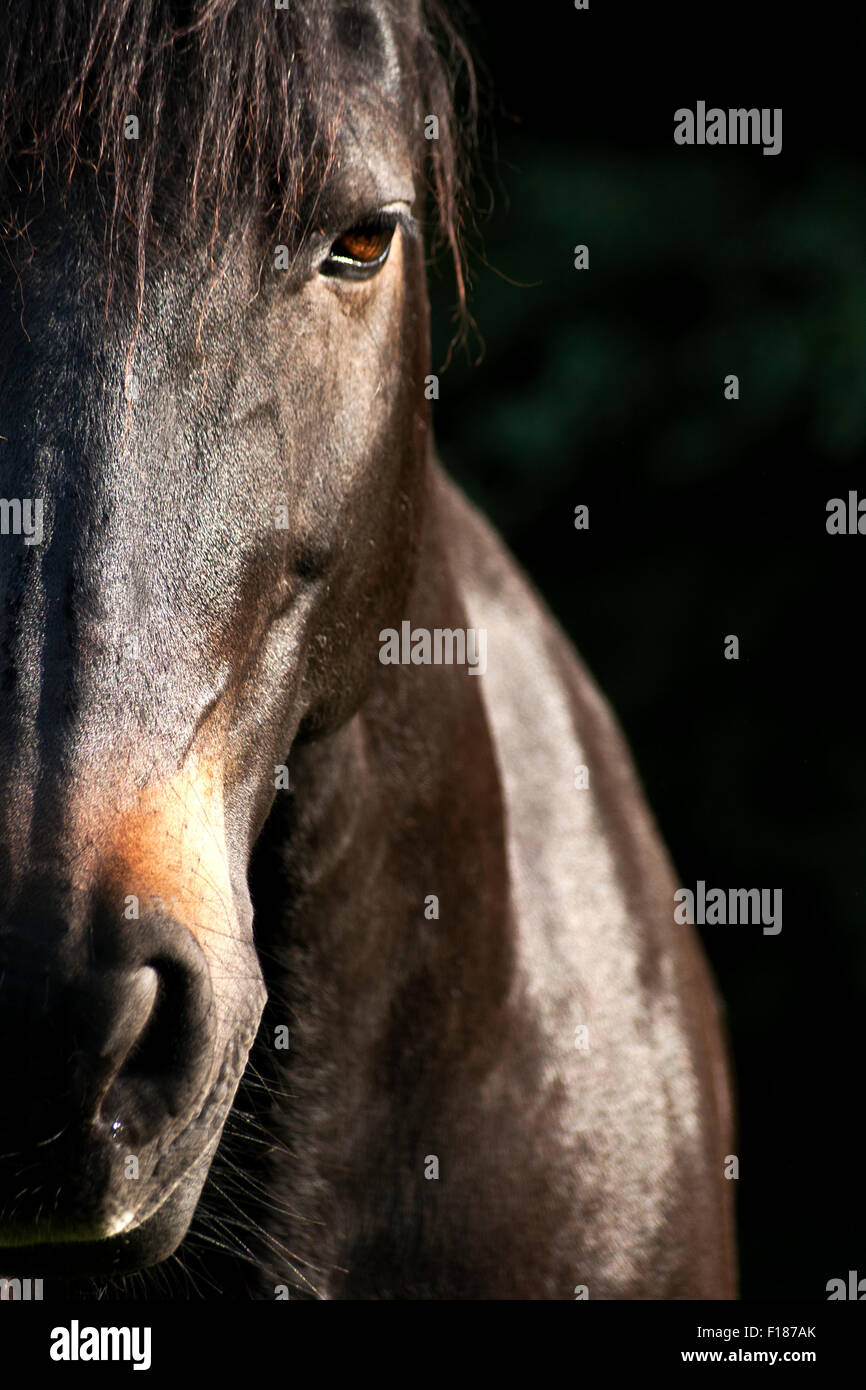 Beautiful Horse Face Frontal Half In Picture With Text Space Stock Photo Alamy