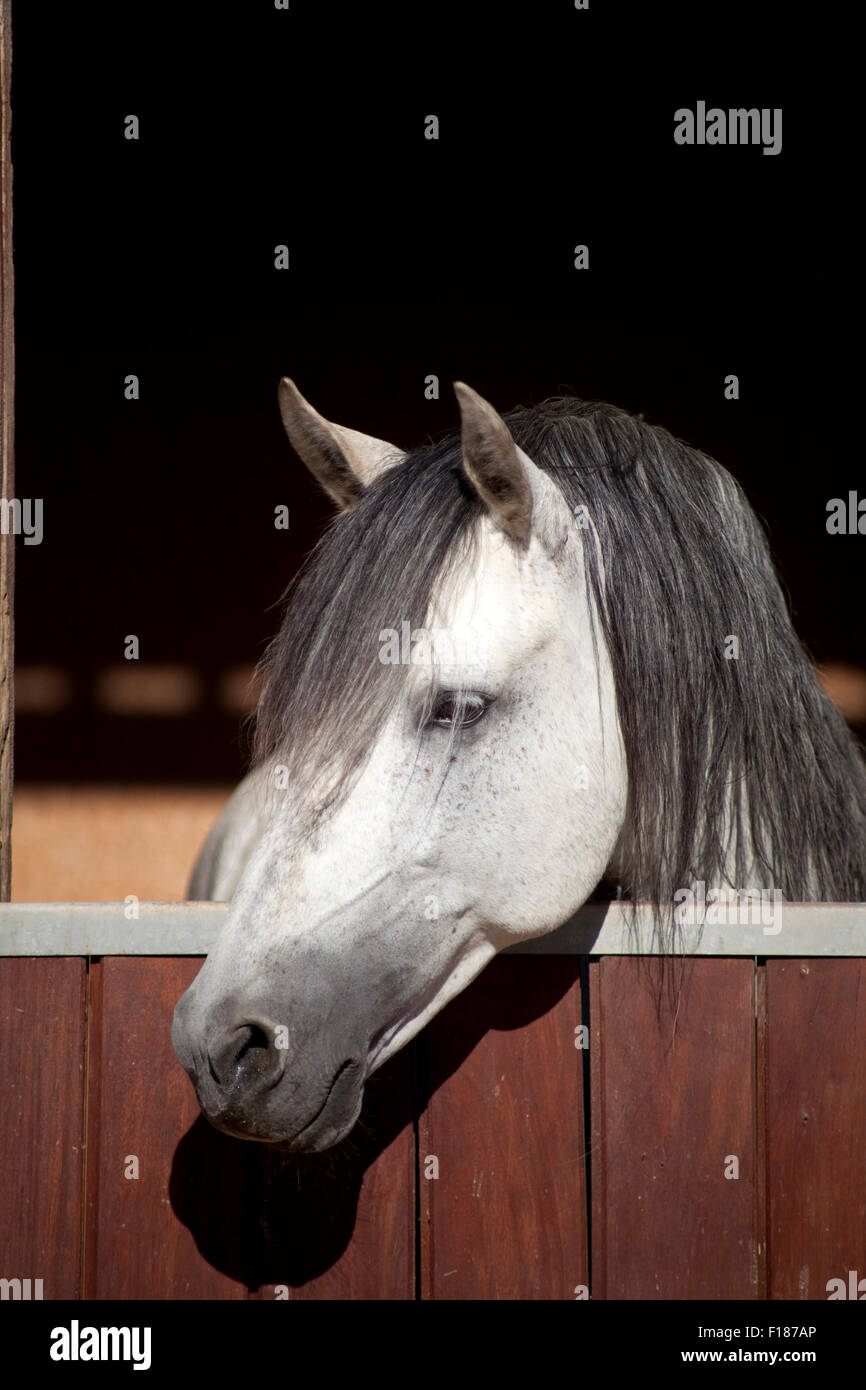 White lusitano Horse in stable look outside a window - Stock Image