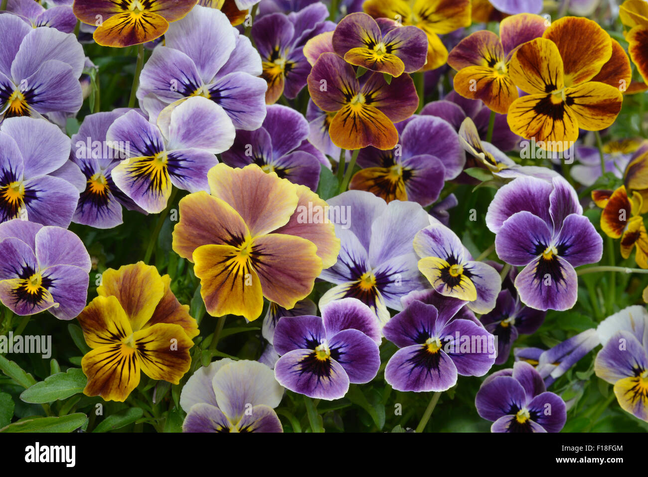 different colors  pansies in garden - Stock Image