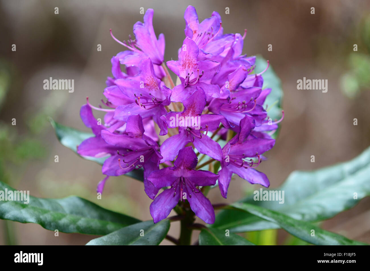 Rhododendron flower head purple UK - Stock Image