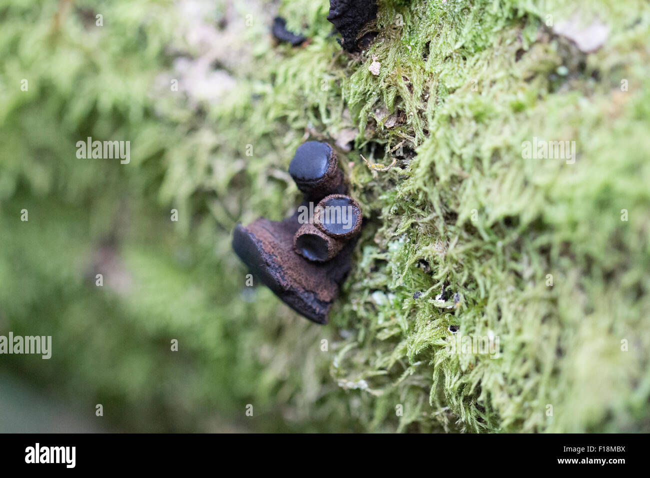 witches butter fungi on dead wood - Stock Image