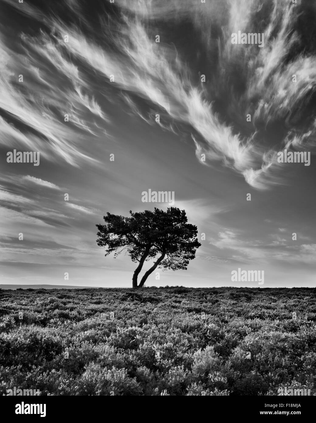 Lone tree and heather in bloom on wheeldale moor the north yorkshire moors england