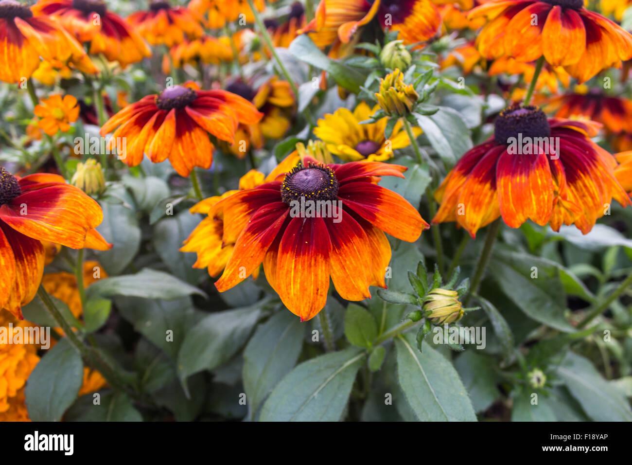 Black eyes Susan Rudbeckia's in Hall Place & Gardens Bexley - Stock Image