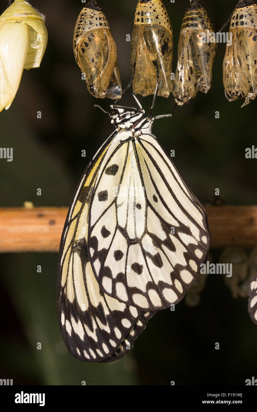 Newly emerged paper kite tropical butterfly, Idea leuconoe, resting beneath the pupal case. - Stock Image