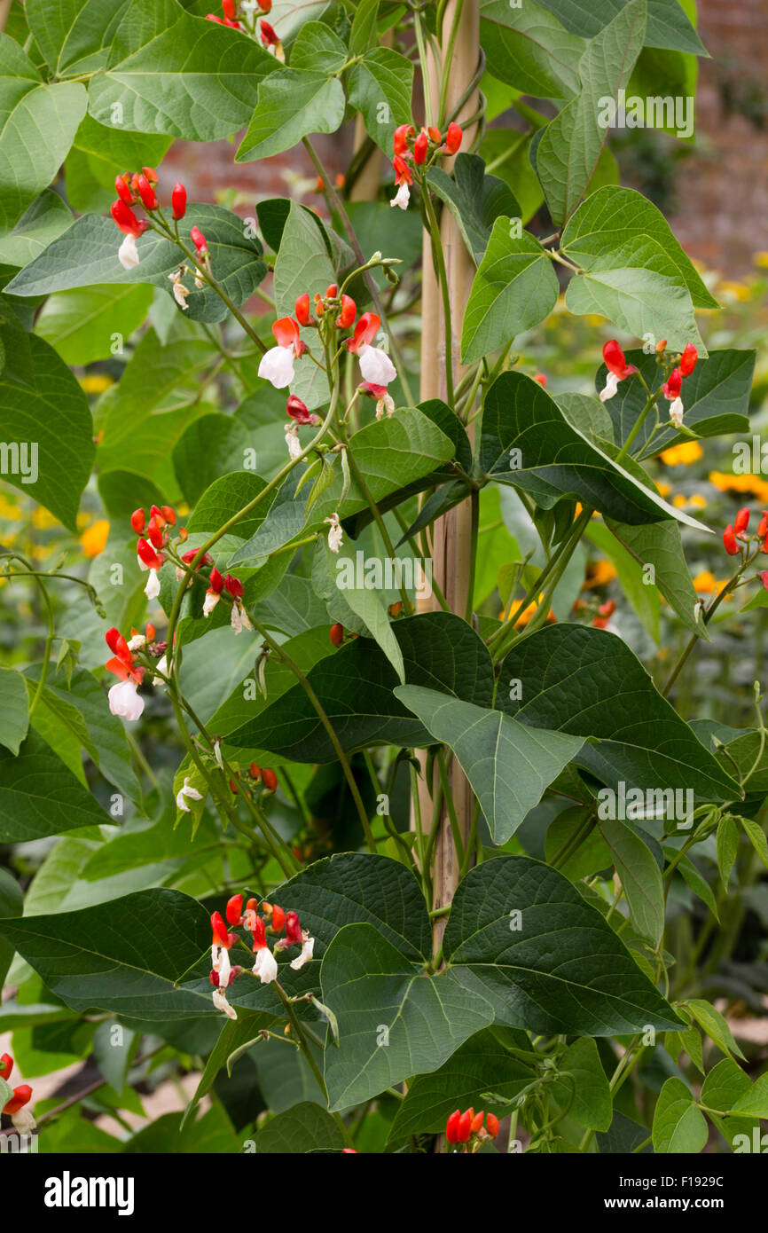 Decorative flowers of the heritage variety of runner bean, Phaseolus coccineus 'Painted Lady' - Stock Image