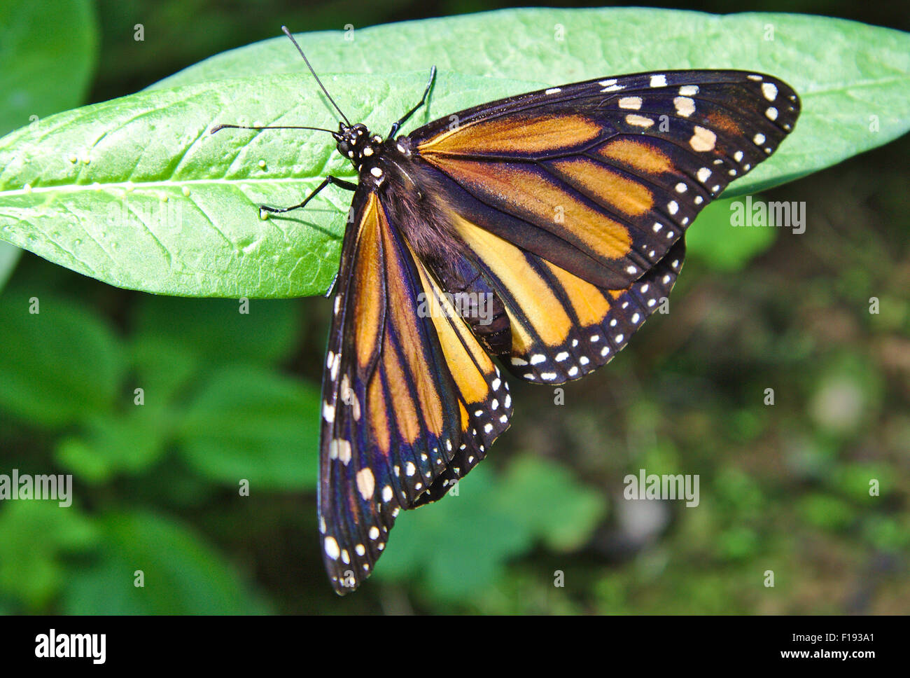 Single Monarch Butterfly on some green leaves - Stock Image