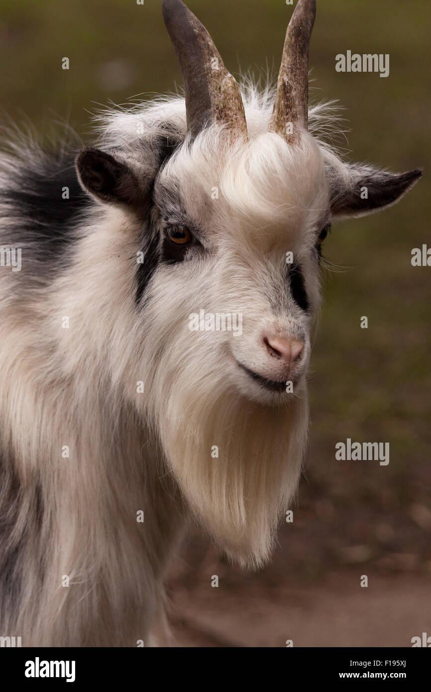 Pygmy Goat - Stock Image