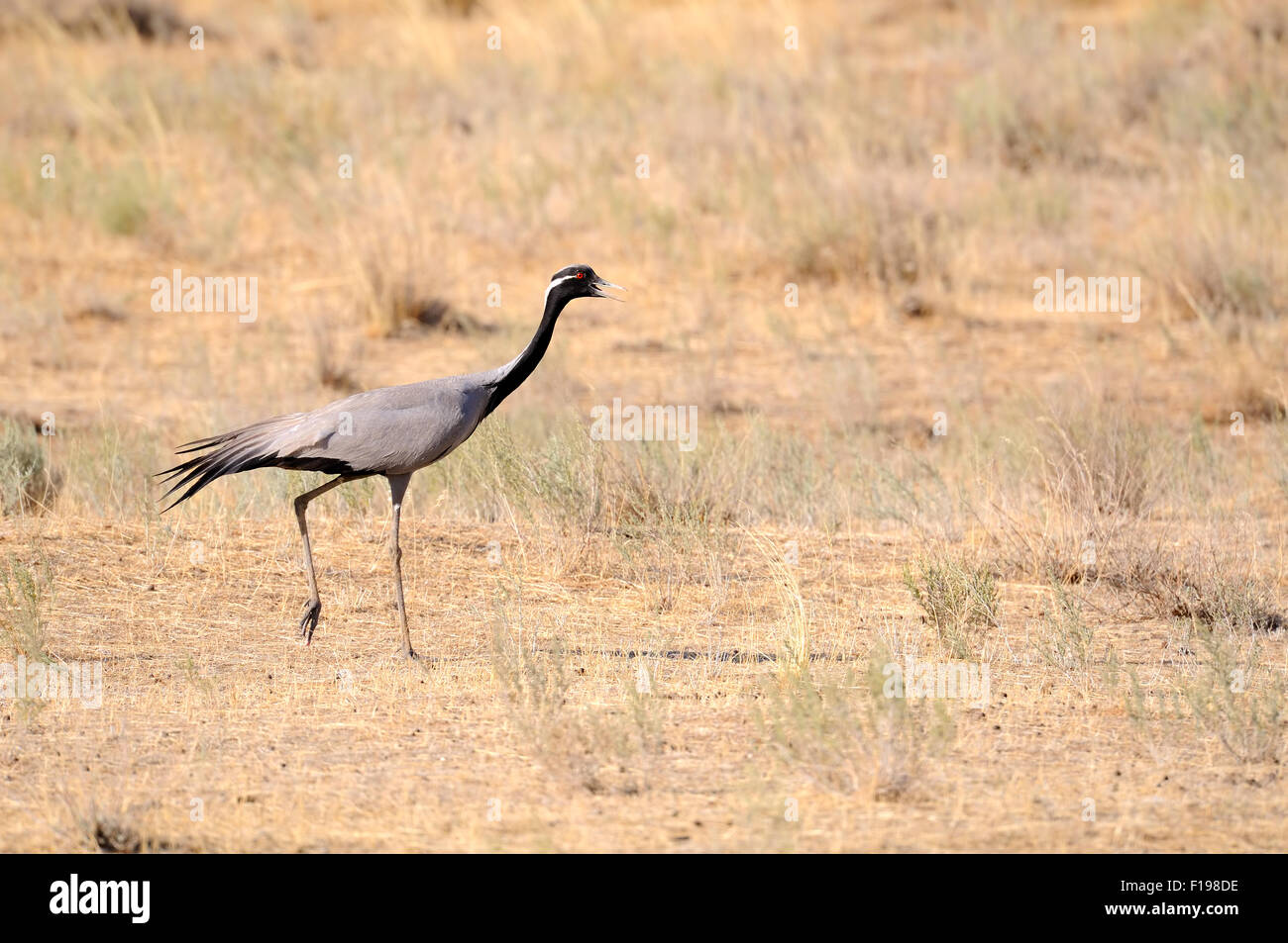 Demoiselle crane walking in hot steppe Stock Photo