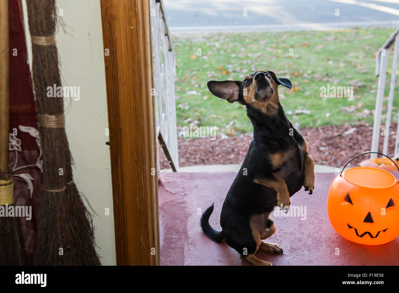 Cute Dog Trick or Treating - Stock Image