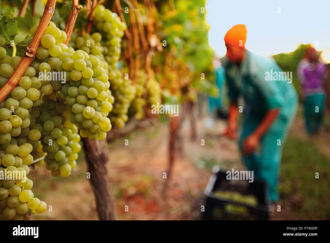 Bunch of grapes on vines at vineyard with grape picker working in background. - Stock Image