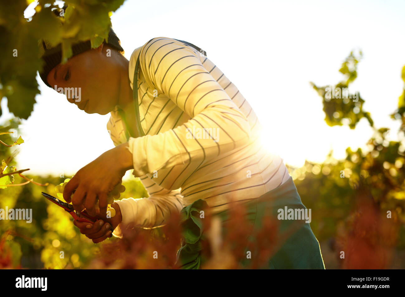 Young woman cutting green grapes from vine during autumn harvest. Female worker harvesting grapes in vineyard. - Stock Image