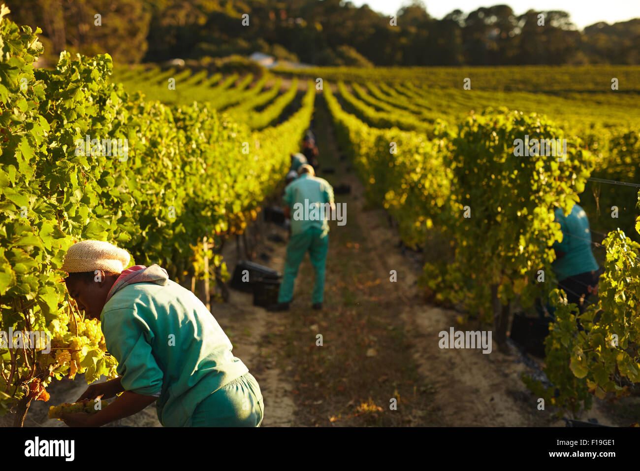 Grape pickers working in field of grape vines. Farm workers harvesting grapes in vineyard for making wine. - Stock Image