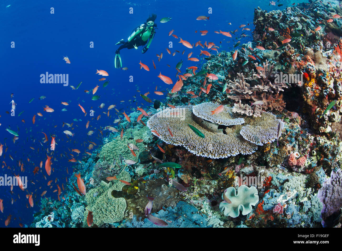 px0152-D. scuba diver (model released) admires healthy coral reef with diversity of soft and hard corals and abundant - Stock Image