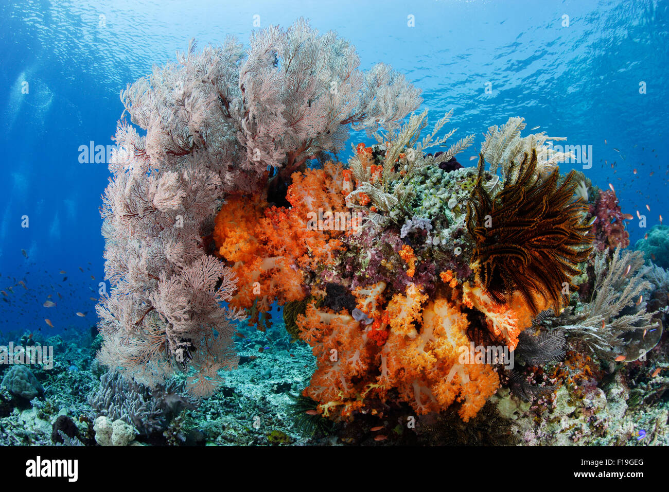 px0186-D. colorful bommie on top of reef, draped in soft corals, sea fans, crinoids, and hydroids. Indonesia, tropical - Stock Image