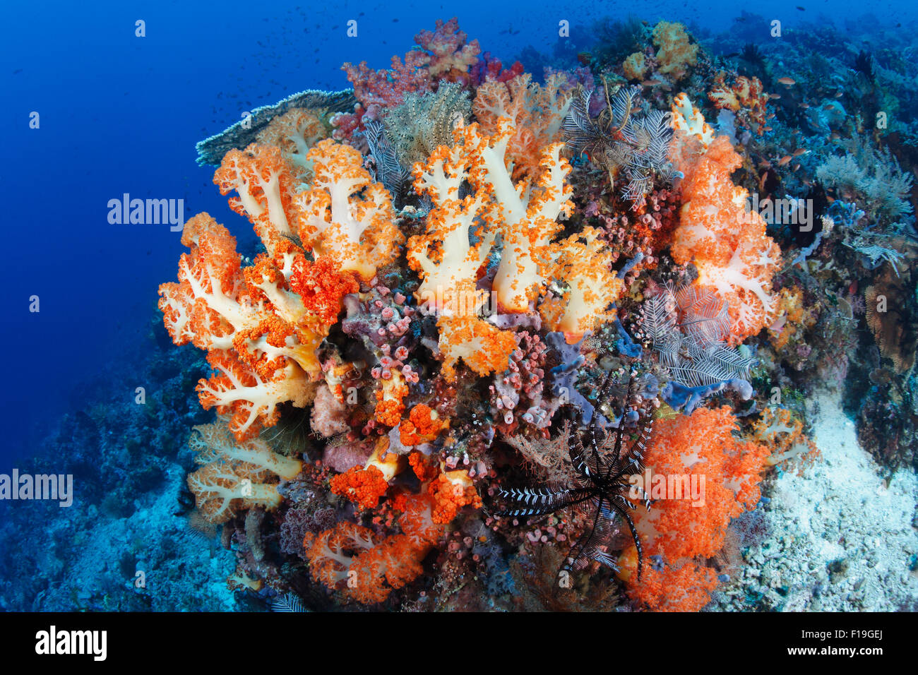 px0206-D. soft corals (Dendronephthya sp.) thrive along current-swept reefs. Indonesia, tropical Pacific Ocean. - Stock Image