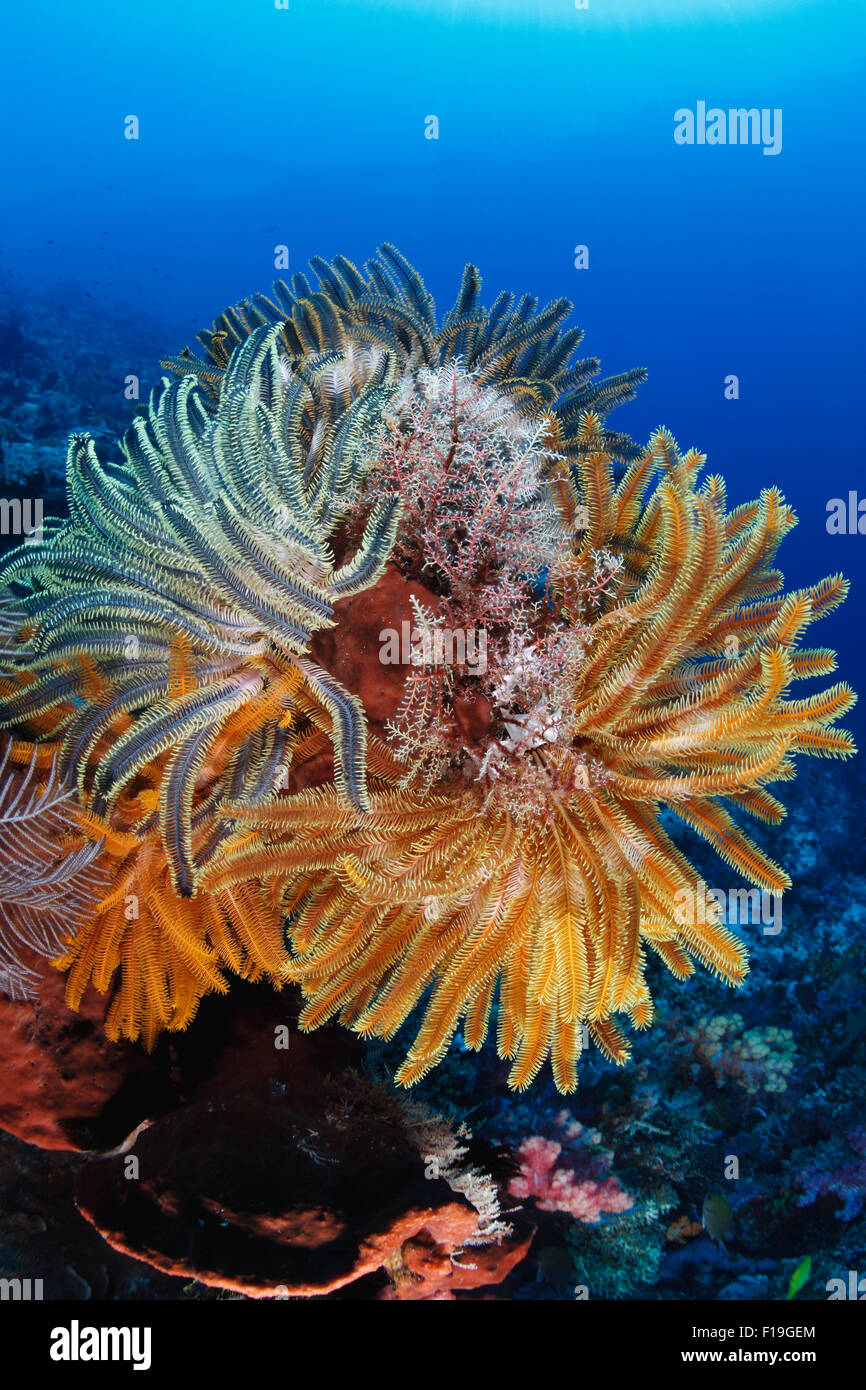 px0213-D. Crinoids, also known as feather stars, on a healthy coral reef. Indonesia, tropical Pacific Ocean. Photo - Stock Image