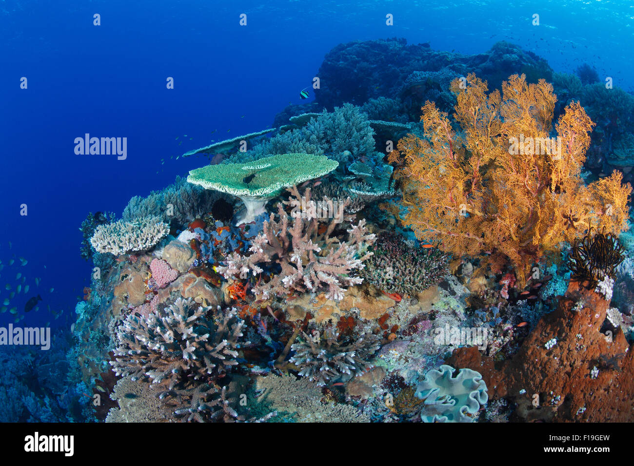 px0297-D.  healthy coral reef, with a variety of hard corals, soft corals, and sponges. Indonesia, tropical Pacific - Stock Image